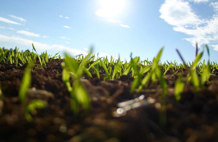 Herbicydy do zbóż ozimych – działanie